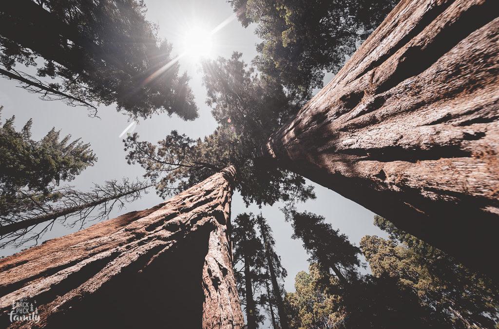 Rencontre avec les Séquoias Géants!