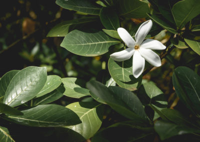 32. Fleur de tiaré