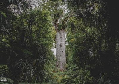 Tane Mahuta, seigneur de la forêt