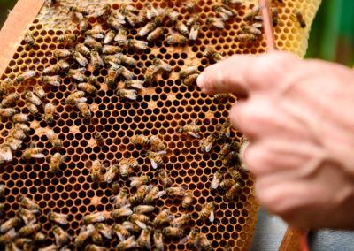 16. Les larves d'abeilles