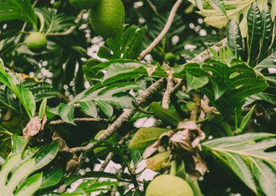 27. L'arbre à pain et son fruit: le uru