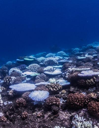 2. Blanchissement des coraux